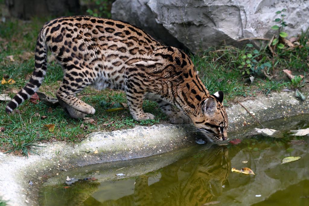 Ocelot_Leopardus pardalis_
