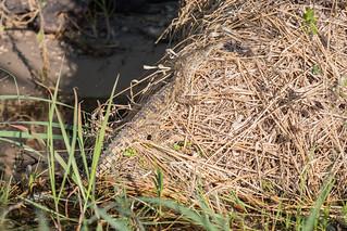 Nilkrokodil / Nile Crocodile