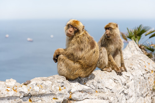 Barbary macaque, Gibraltar | by stshank