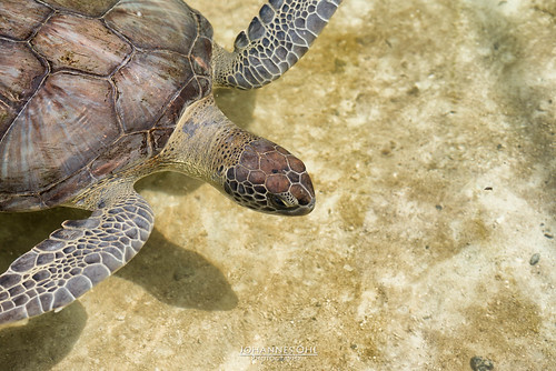 america waffled sunny highangle halflength detailed chordata highangleview tropicalzone florida oneobject big testudinidae americhelydia swimming gulfofmexico cryptodira outdoors water diving tropicalclimate beauty testudines beautyinnature daytime chelonia pacificocean floridakeys eye beige brown greenseaturtle animalphotography umber zoophotography carapace head atlanticocean beautiful saltwater cheloniidae sea fairweather cheloniinae unitedstates flipper caribbeansea oneanimal