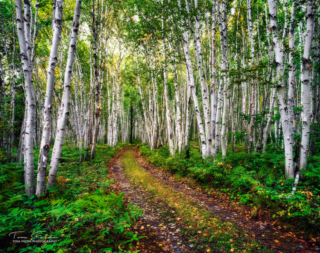 The birch grove