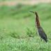 Herons, Egrets, and Bitterns - Ardeidae