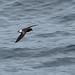 Northern Storm-Petrels - Hydrobatidae