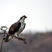 Osprey - Pandionidae