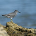 Sandpipers and Allies - Scolopacidae
