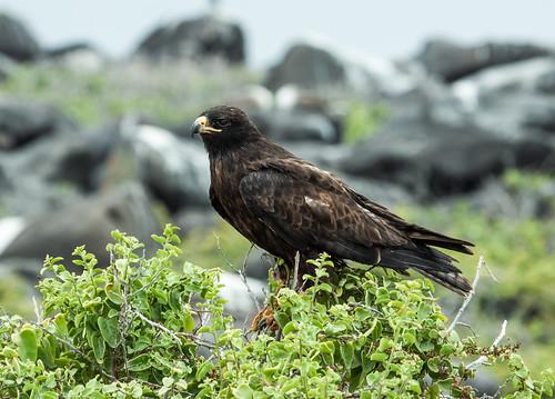 Galapagos Hawk | by nickathanas