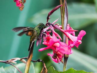 Stripe-tailed Hummingbird   by nickathanas