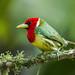 New World Barbets - Capitonidae