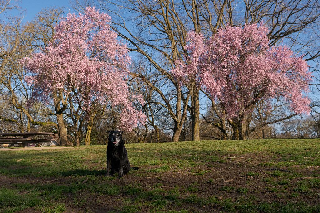 Our dog Ellie sits in front of blossoming trees in the dog park section of Irving Park in the Irvington neighborhood of Portland, Oregon in April 2017