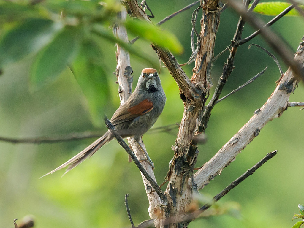Spix's Spinetail