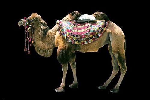 china kashgar camel asienmanphotography asienmanphotoart silkroad oasiscity