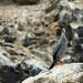 Cormorants and Shags - Phalacrocoracidae