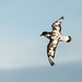 Shearwaters and Petrels - Procellariidae
