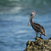 Pelicans - Pelecanidae