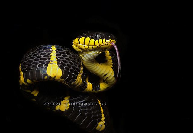 IMG_7468-0(W) Sub-adult Mangrove Cat Snake (Boiga dendrophila)