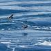 Southern Storm-Petrels - Oceanitidae
