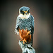 Falcons and Caracaras - Falconidae