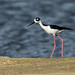Stilts and Avocets - Recurvirostridae