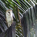 Barn-Owls - Tytonidae