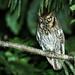 Owls - Strigidae