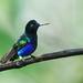 Hummingbirds - Trochilidae