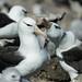 Albatrosses - Diomedeidae