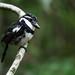 Puffbirds - Bucconidae