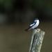 Swallows - Hirundinidae