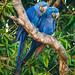 Parrots - Psittacidae