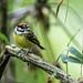 Tyrant Flycatchers - Tyrannidae