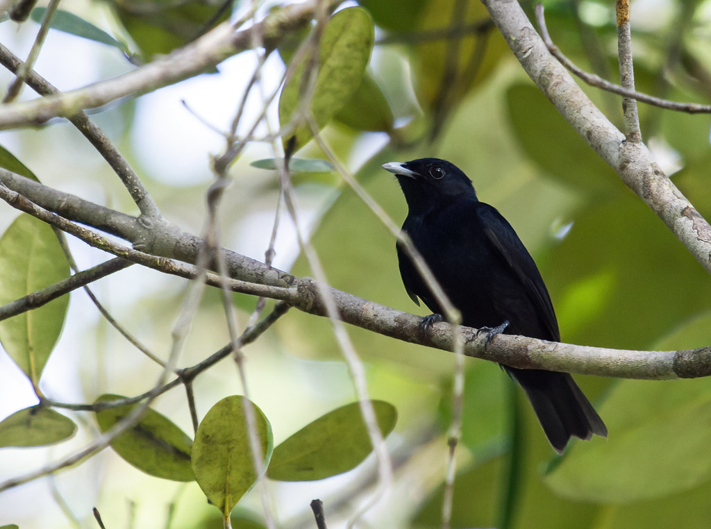 Black Manakin