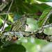 Sharpbill, Royal Flycatcher, and Allies - Oxyruncidae