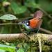 Wrens - Troglodytidae