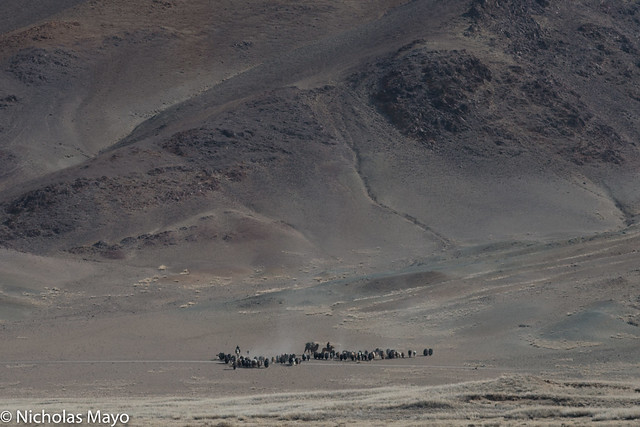Spring Migration Of Yaks