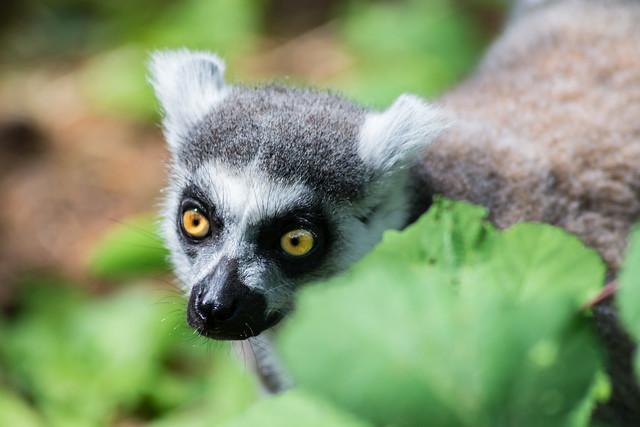 Ring-tailed lemur at Monkey World 2_rcf