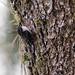 Treecreepers - Certhiidae