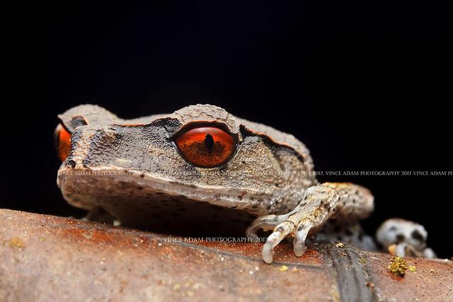 IMG_7842-0(W) Sleepy Spotted Litter Frog (Leptobrachium hendricksoni)