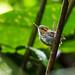 Gnatcatchers - Polioptilidae