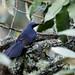 Mockingbirds and Thrashers - Mimidae