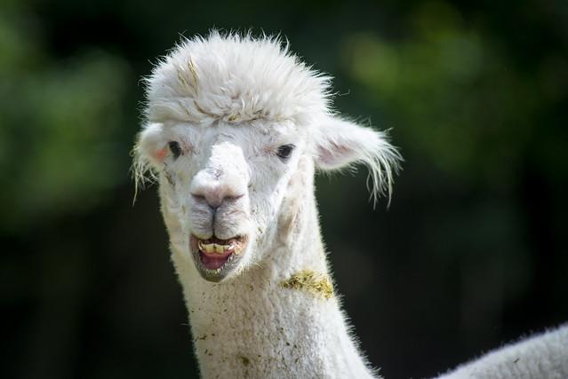 White Alpaca_rcf