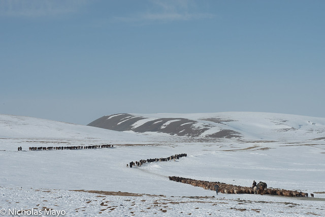 Migrating Herds Heading To The Pass