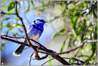 Splendid Fairywren | by Ross_M