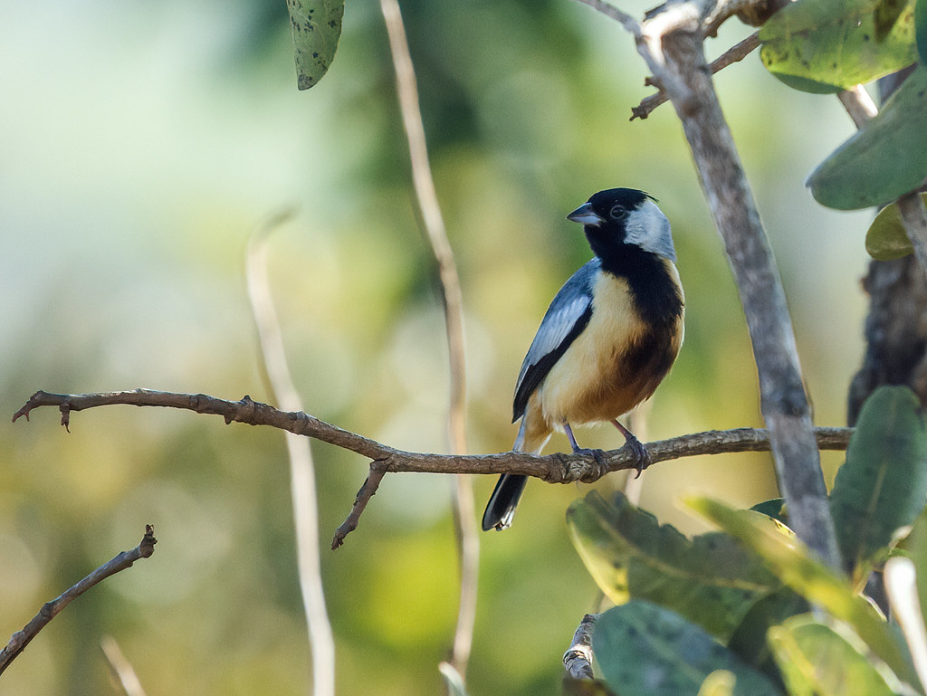 Coal-crested Finch