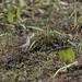 Wagtails and Pipits - Motacillidae