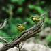 New World Buntings and Sparrows - Passerellidae