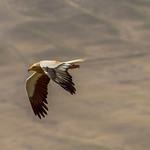 Endangered Egyptian Vulture over Azerbaijan Georgian frontier