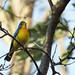 Cardinals and Allies - Cardinalidae