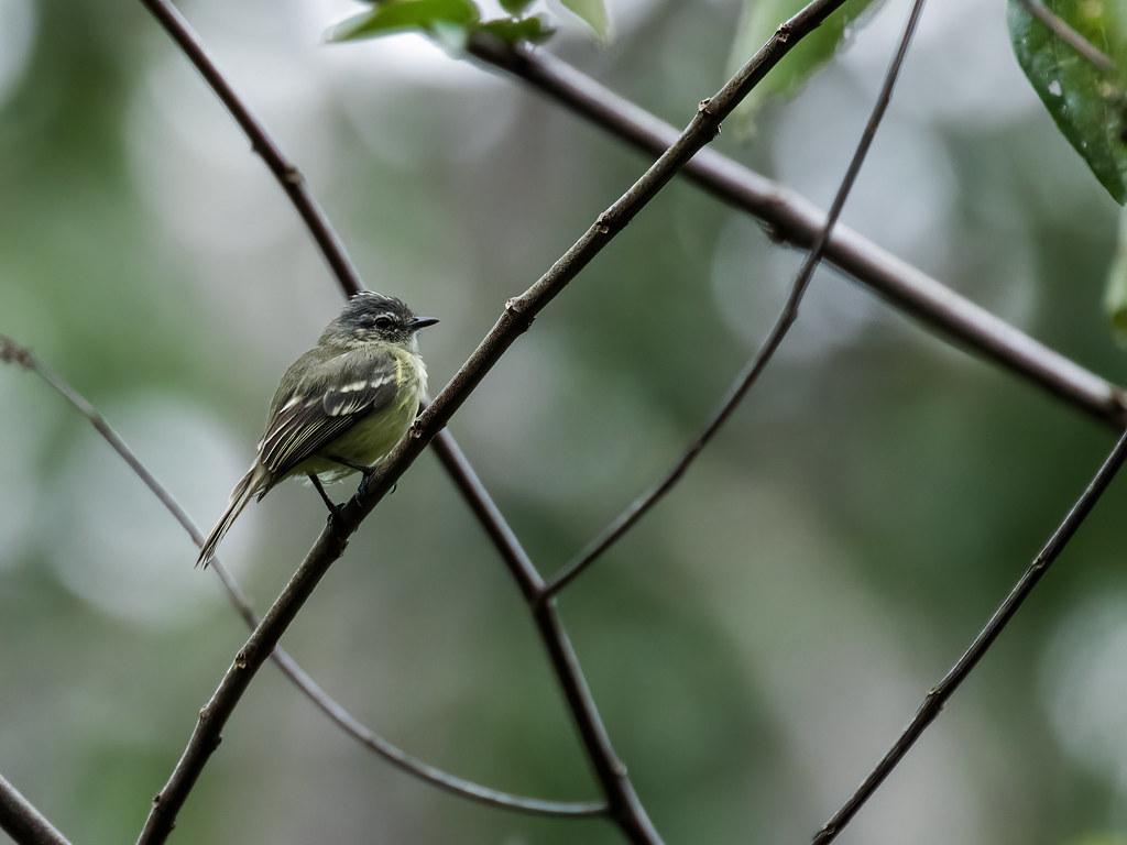 Forest Elaenia