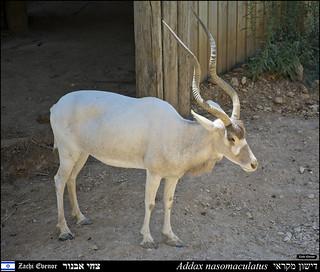 Addax in Jerusalem-Biblical-Zoo-IZE-596