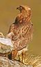 Jackal Buzzard, Buteo rufofuscus, immature by f_snarfel